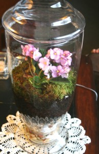 terrariums, glass jars, violets, dirt, indoor gardening, container gardening